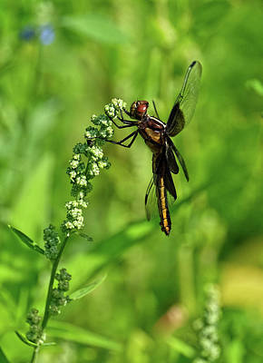 Photograph - Dragonfly Beauty by Ronda Ryan