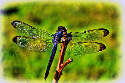 Tiger Dragonflies Photograph - Dragonfly Blues by Olahs Photography