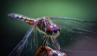 Photograph - Dragonfly by Lilia D