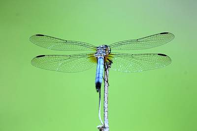 Photograph - Dragonfly by Lilian Forsyth