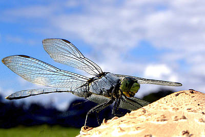 Photograph - Dragonfly On A Mushroom 001 by Chris Mercer