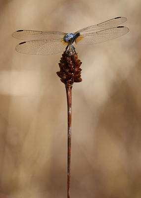 Photograph - Dragonfly On Reed by Carol Groenen