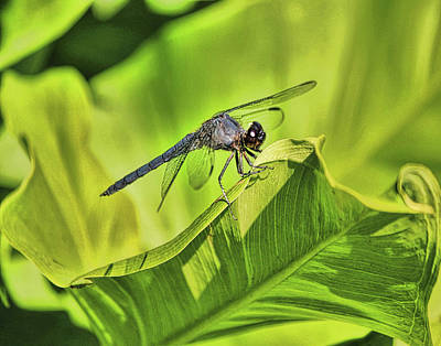 Photograph - Dragonfly by Pat Cook