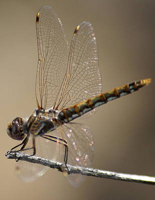 Photograph - Dragonfly Resting by Ben Upham III