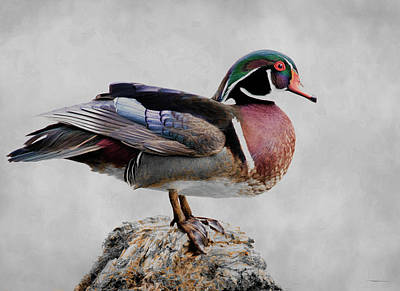 Photograph - Drake Wood Duck  by Steve McKinzie