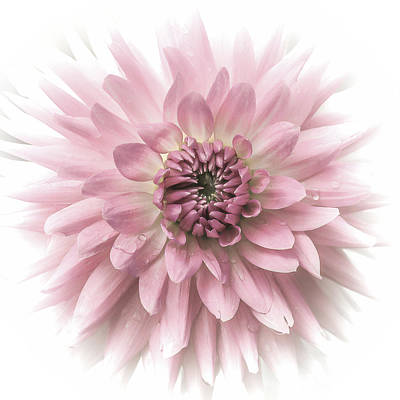 Dreamy Dahlia Print by Julie Palencia