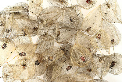 Dried Fruits Photograph - Dried Fruits Of The Cape Gooseberry by Michal Boubin