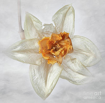 Photograph - Dried Narcissus by Ann Jacobson