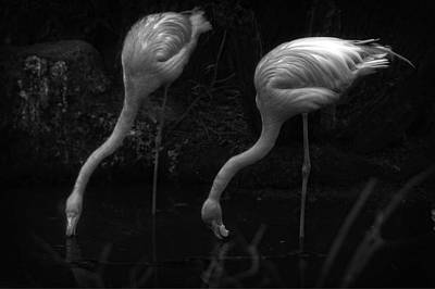 Photograph - Drinking Pink Flamingo's by Doc Braham