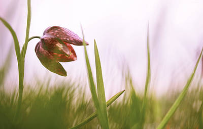 Snakes Head Fritillary Photograph - drooping Tulip a meadow springflower by Dirk Ercken