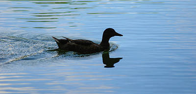 Photograph - Duck by Brian Kinney
