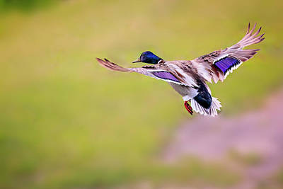 Photograph - Duck-drake by Peter Lakomy