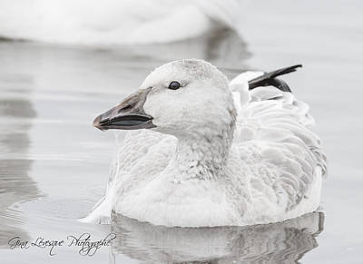 Photograph - Duck by Gina Levesque