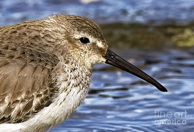 Painting - Dunlin Sandpiper by Sue Harper