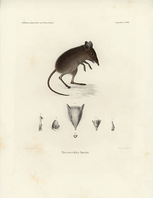 Drawing - Dusky Elephant Shrew, Elephantulus Fuscus by J D L Franz Wagner