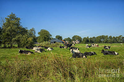 Just Desserts Rights Managed Images - Dutch cows on pastures Royalty-Free Image by Patricia Hofmeester