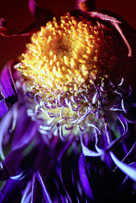 Dying Purple Chrysanthemum Flower Background Art Print by John Williams
