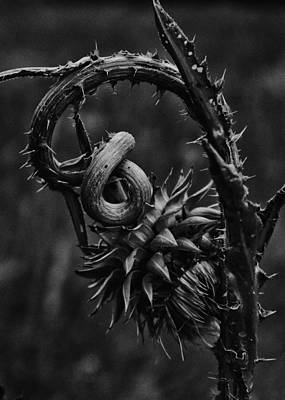 Photograph - Dying Thistle by Dutch Bieber