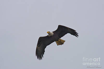 Photograph - Eagle by David Arment