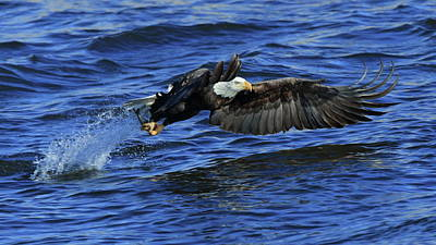 Photograph - Eagle Fish Grab by Coby Cooper