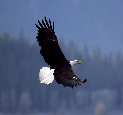 Eagle In Flight Art Print by Clarence Alford