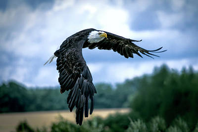 Photograph - Eagle In Flight by Daniel Hagerman