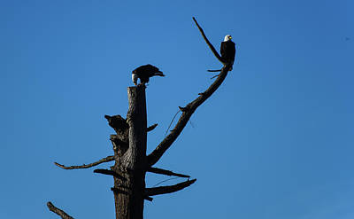 Photograph - Bald Eagles At Semiahmoo by Tom Cochran