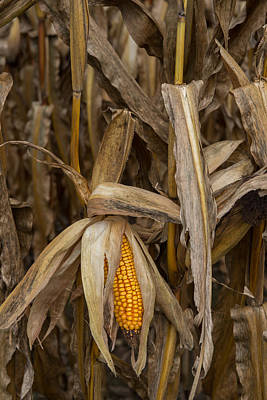 Photograph - Ear Of Corn by Joye Ardyn Durham