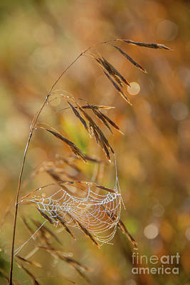 Photograph - Early Morning Spider Web by Cheryl Baxter