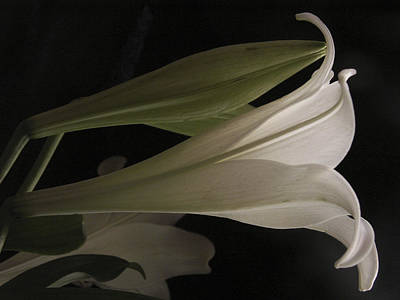 Photograph - Easter Lily by Nancy Griswold