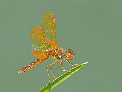 Photograph - Eastern Amberwing by Jim Zablotny