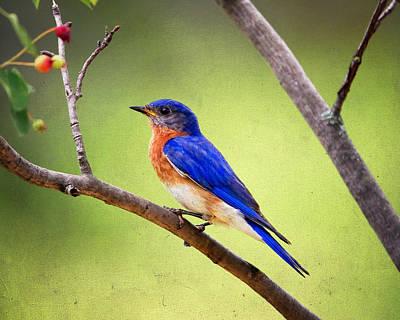 Eastern Bluebird Print by Al  Mueller