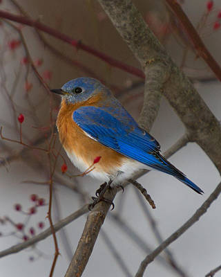 Photograph - Eastern Bluebird by Timothy McIntyre
