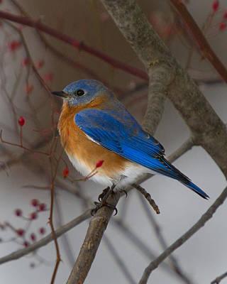 Photograph - Eastern Bluebird by Timothy McIntyre
