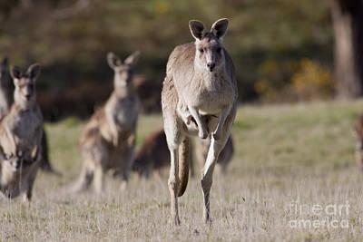 Photograph - Eastern Grey Kangaroos by Karen Van Der Zijden