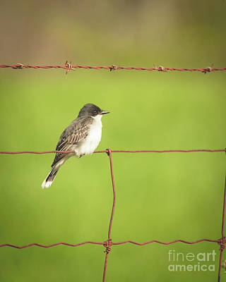 Photograph - Eastern Kingbird by Cheryl Baxter
