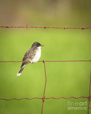 Photograph - Eastern Kingbird by Cheryl Baxter