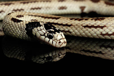 Black Ring Photograph - Eastern Kingsnake Isolated Black Background by Sergey Taran