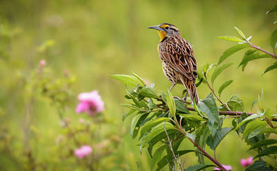 Photograph - Eastern Meadowlark La Florida Bogota Colombia by Adam Rainoff