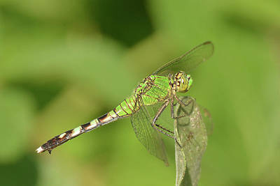 Photograph - Eastern Pond Hawk Dragonfly by Alan Lenk