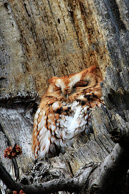 Photograph - Eastern Screech Owl Red Morph by Gary Hall