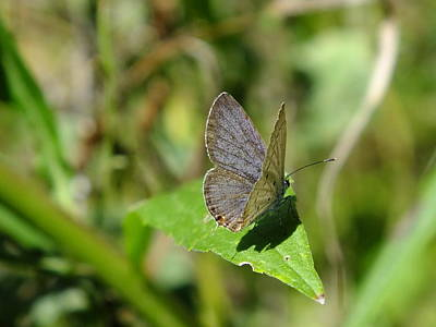 Photograph - Eastern Tailed Blue Butterfly by Peggy King