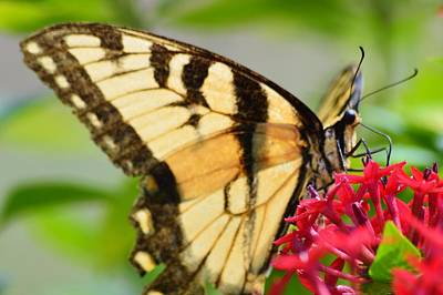 Photograph - Eastern Tiger Swallowtail 2 by Warren Thompson