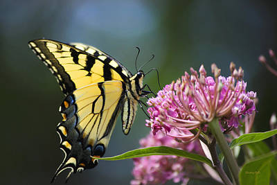 Photograph - Eastern Tiger Swallowtail Butterfly-2 by Christina Rollo