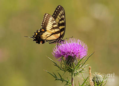 Photograph - Eastern Tiger Swallowtail by David Cutts