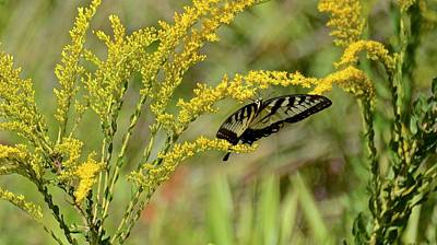 Photograph - Eastern Tiger Swallowtail On Goldenrod by Carol Bradley