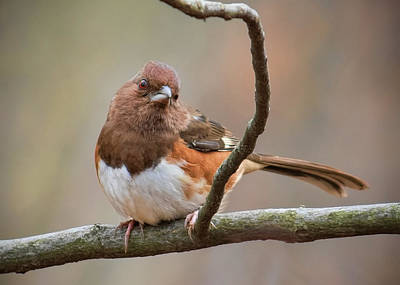 Photograph - Eastern Towhee - Female by Ron Grafe