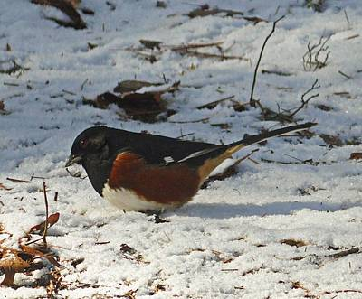 Photograph - Eastern Towhee In Winter by Joe Duket