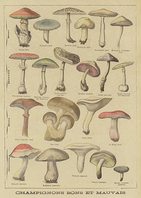Toadstools Drawing - Edible And Poisonous Mushrooms by French School