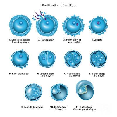 Late Stage Photograph - Egg Fertilization by Gwen Shockey